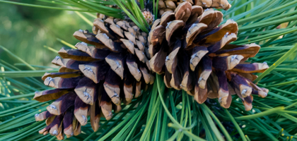 420x200-pinecones-main
